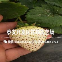 山口9号草莓苗近期报价、山口9号草莓苗一棵多少钱图片