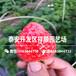 2019年甜寶草莓苗哪里便宜、2019年甜寶草莓苗行情