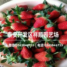 批發美十三草莓苗出售基地、美十三草莓苗品種介紹圖片