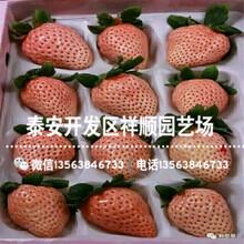 燕香草莓苗批发出售、批发燕香草莓苗一亩地种多少棵图片