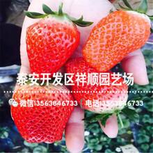 新品种丽雪草莓苗出售单价、山东丽雪草莓苗行情图片