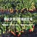 燕香草莓苗什么價格、批發燕香草莓苗多少錢