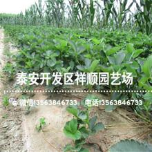 奶油草莓苗什么地方卖、新品种奶油草莓苗批发价格图片