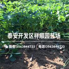 出售蒙特瑞草莓苗前景怎么样、蒙特瑞草莓苗一亩地种多少棵图片