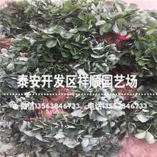 出售美德莱特草莓苗新品种、美德莱特草莓苗批发价格图片