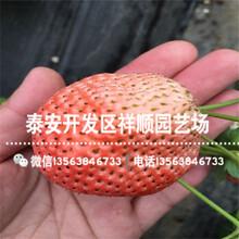 山东大将军草莓苗供应价格、大将军草莓苗品种介绍图片