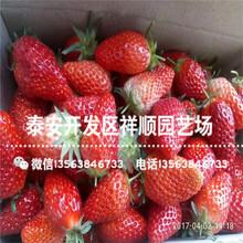 贵州草莓苗近期报价、贵州草莓苗品种介绍图片
