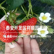 山东京凝香草莓苗哪里有、京凝香草莓苗上车价格图片