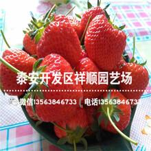 2019年甜宝草莓苗哪里有、2019年甜宝草莓苗品种介绍图片