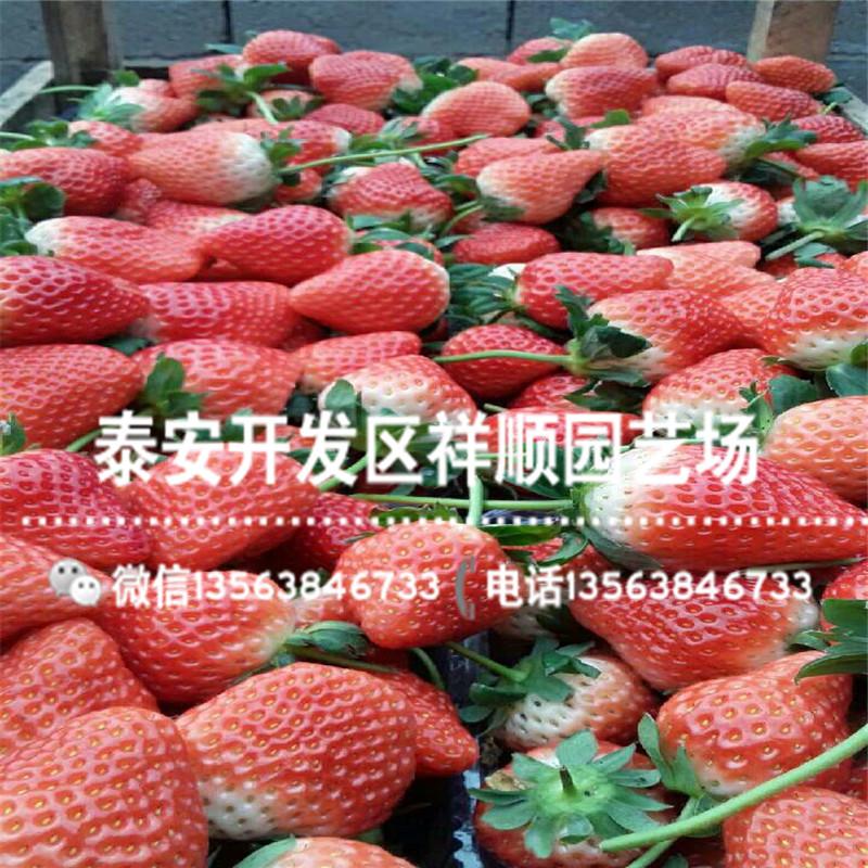 京泉香草莓苗多少钱一棵、2019年京泉香草莓苗批发基地