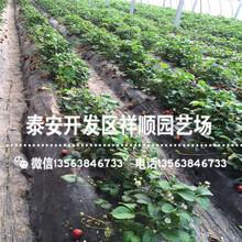 批发大棚草莓苗出售单价、批发大棚草莓苗2019新报价图片