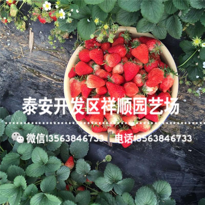 出售红宝草莓苗基地、出售红宝草莓苗一棵多少钱