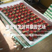 批发阿尔比草莓苗哪里有卖、阿尔比草莓苗出售价钱图片