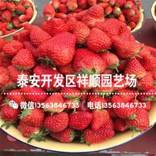 新品种隋珠草莓苗前景怎么样、新品种隋珠草莓苗种植基地图片