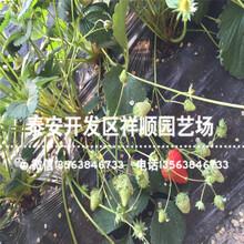 出售法兰地草莓苗出售单价、法兰地草莓苗种植技术图片