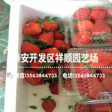 星都一号草莓苗出售单价、星都一号草莓苗批发价格图片