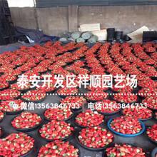 出售暖棚草莓苗基地、暖棚草莓苗多少钱图片