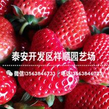 2019年甜寶草莓苗前景怎么樣、2019年甜寶草莓苗上車價格圖片