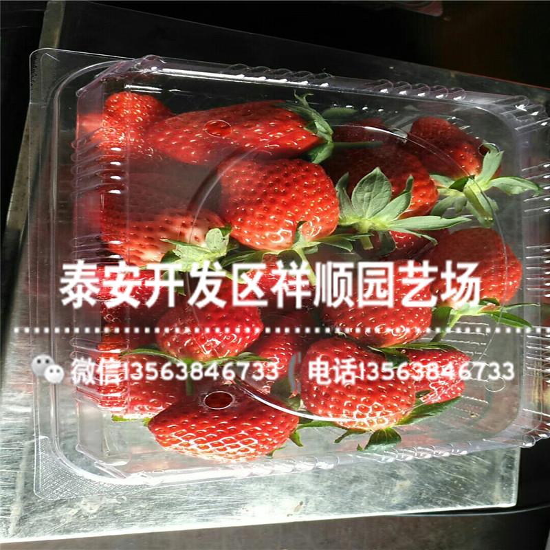 圣安德瑞斯草莓苗哪里有卖、圣安德瑞斯草莓苗品种介绍