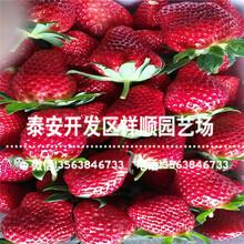 出售牛奶草莓苗哪里有、出售牛奶草莓苗附近哪里有图片
