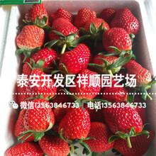 山东咖啡草莓苗前景怎么样、咖啡草莓苗批发价格图片