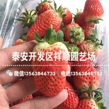 山东咖啡草莓苗多少钱一棵、咖啡草莓苗批发价格图片