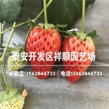 贵州草莓苗出售价格、贵州草莓苗种植基地图片