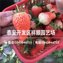 山东莱科特草莓苗出售价格、山东莱科特草莓苗管理技术图片