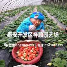 批发阿尔比草莓苗出售价格、阿尔比草莓苗批发基地图片