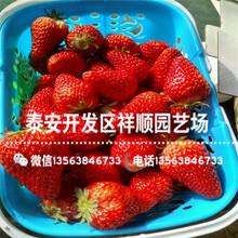 山东甜查理草莓苗哪里有、山东甜查理草莓苗一亩地种多少棵图片