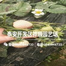 新品种丰香草莓苗哪里便宜、丰香草莓苗一棵多少钱图片