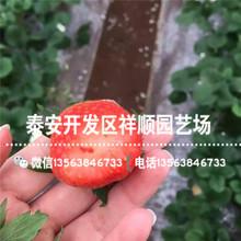 小叶红颜草莓苗批发出售、小叶红颜草莓苗2019新报价图片