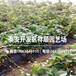 優質妙香7號草莓苗基地、妙香7號草莓苗批發價格
