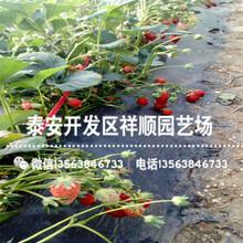 出售美德莱特草莓苗什么价格、美德莱特草莓苗种植基地图片