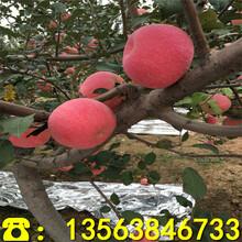新品种响富苹果树苗价格、响富苹果树苗批发价格图片