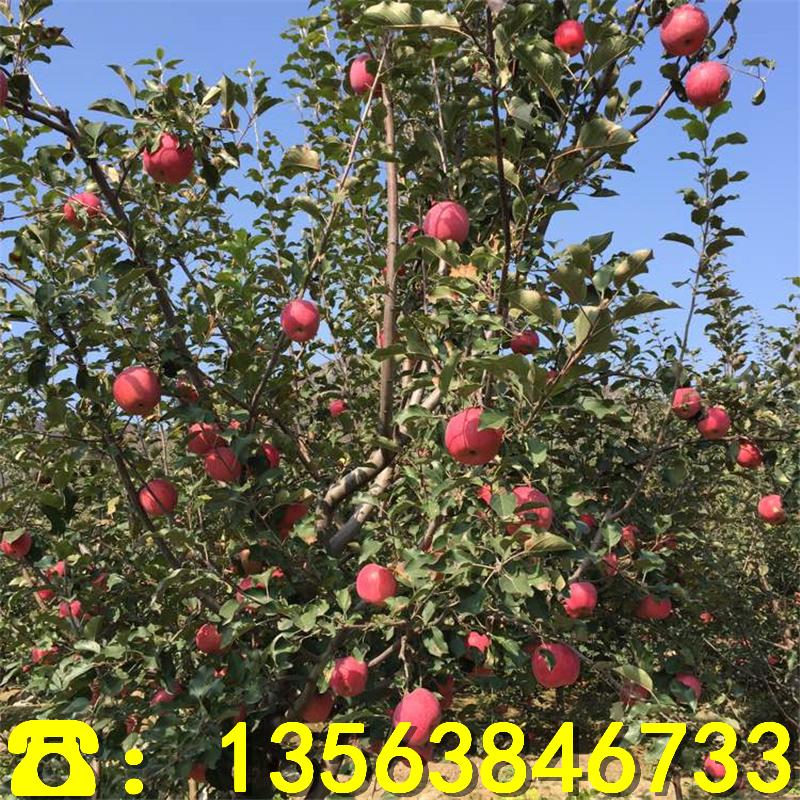 藤木一号苹果苗前景怎么样、藤木一号苹果苗批发价位