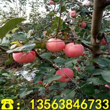 优质响富苹果树苗供应价格、响富苹果树苗2019新报价图片
