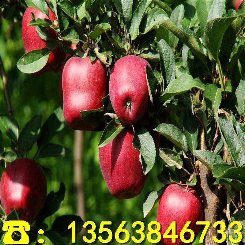 2019年柱状苹果苗出售基地、柱状苹果苗附近哪里有