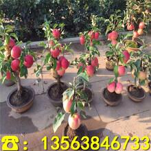 福布拉斯苹果苗出售价格、福布拉斯苹果苗哪里便宜图片