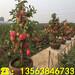 新品种黑苹果树苗出售基地、黑苹果树苗价格及报价