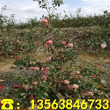新品种盆栽苹果树苗前景怎么样、盆栽苹果树苗出售价钱图片