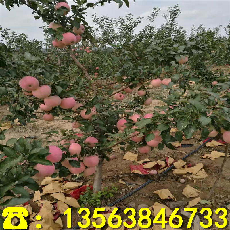 3年苹果树苗供应价格、3年苹果树苗出售价钱