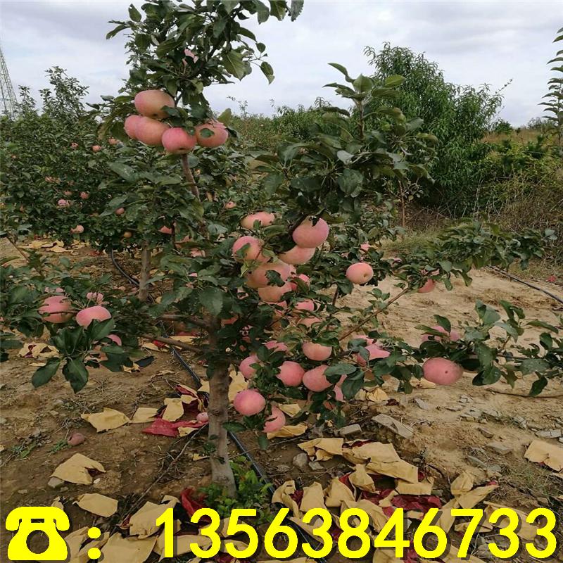 福布拉斯苹果苗哪里有卖、福布拉斯苹果苗价格及报价