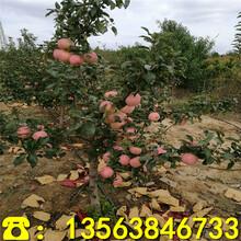 1米高苹果苗哪里有卖、1米高苹果苗2019新报价图片