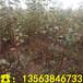 矮化中间砧苹果树苗基地、矮化中间砧苹果树苗批发基地