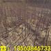 批发盆栽苹果树苗出售基地、盆栽苹果树苗出售价钱