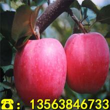 乐其苹果苗批发出售、乐其苹果苗批发价格图片
