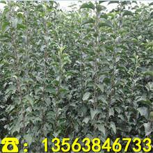 哪里有红心苹果树苗基地、红心苹果树苗多少钱一株图片