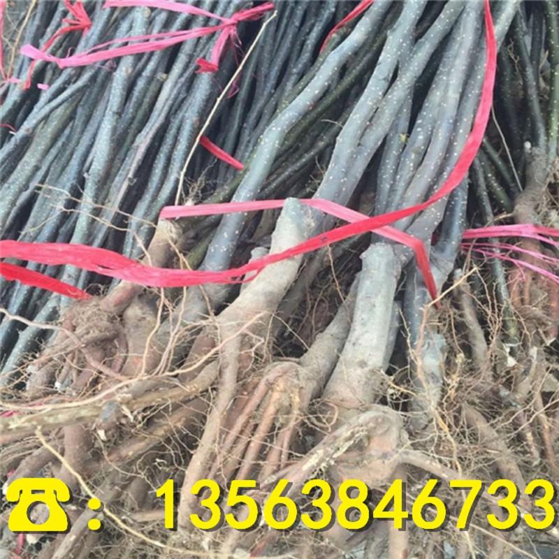 中梨4号梨树苗批发出售、出售中梨4号梨树苗批发价位