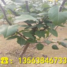 六月酥梨树苗价格、优质六月酥梨树苗附近哪里有图片